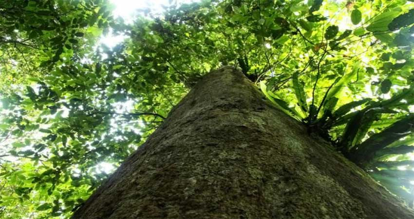 gambar pohon kayu besi