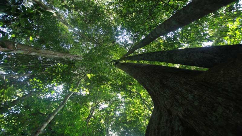 kayu kempas berasal dari kepulauan Kalimantan